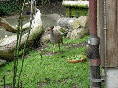 Sammy goes on and on about this dikdik, a tiny deer relative; dikdik, San Francisco Zoo, August 5, 2007; photo by Nico Vallone