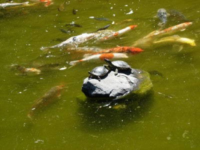 Turtles and koi fish, Hakone Gardens, Saratoga, CA, August 14, 2007; photo by Kimi Mack