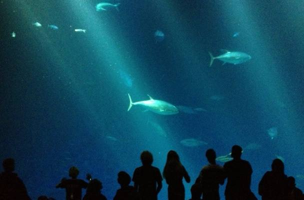 [A photo from the Monterey Bay Aquarium, December 31, 2012, outer bay tank, with the profiles of different observers staring at fish]